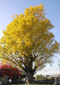 黄色く染まった葉が見応えある宗英寺のイチョウ=亀山市南野町で
