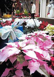 淡い「ピンクホワイト」のプリンセチアの花=砺波市中村で