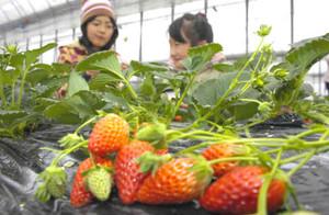 イチゴ狩りを楽しむ来園者=飯田市龍江の今田平いちご園で