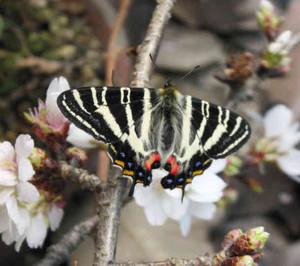 羽化して桜の枝で羽を乾かすギフチョウ=岐阜市大宮町の名和昆虫博物館で