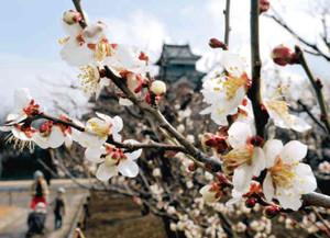 暖かい陽気に誘われ本格的に咲き出した梅=松本市の松本城公園で