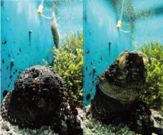 (左から右に)目の前に近づいたエサを一瞬の間に食べるオニダルマオコゼ=名古屋港水族館で