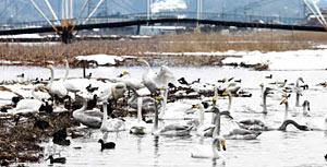 羽を休めて長旅の疲れを癒やすハクチョウの群れ=氷見市十二町潟水郷公園で