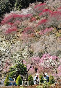山肌を埋め尽くすように咲き誇る梅=津市白山町垣内のリベラルパーク青山で