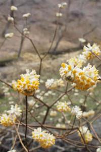 下向きに咲く花が周囲を照らすランプのように見えるミツマタ=豊田市永太郎町の和紙のふるさとで