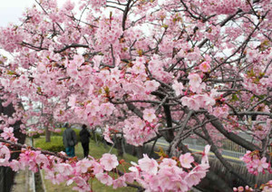 満開となった早咲きの修善寺寒桜=守山市の守山ふれあい公園で