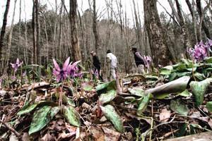 群生地で咲き始めたカタクリ。満開のころにはギフチョウも舞うという=関市武芸川町宇田院の保木山で