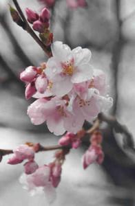 咲き始めたタカトオコヒガンザクラ=伊那市の高遠城址公園で