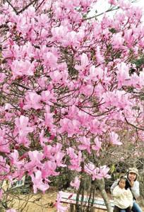 見ごろを迎え鮮やかな花を咲かせるムラサキツツジ=垂井町敷原で