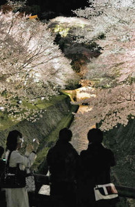 ライトアップされ暗闇に浮かび上がる琵琶湖疎水の桜並木=大津市三井寺町で