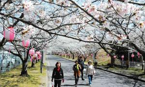 満開を迎えた桜並木=名張市夏見の名張中央公園で