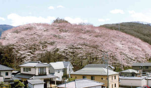 桜色に染まった弘法山古墳=松本市並柳で