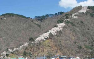 ふもとから山頂に向け開花した桜がつくるピンク色のライン=安曇野市の光城山で