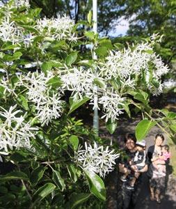 枝先に雪が降り積もったように咲くヒトツバタゴ=6日午後、浜松市南区の市緑化推進センターで(川戸賢一撮影)