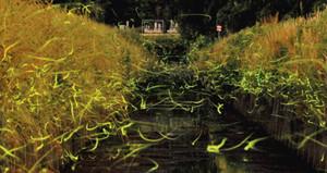 明滅を繰り返し、川面の上を乱舞するゲンジボタル=四日市市西村町で(3分間露光)