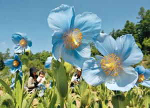 涼しげで空にとけ込むような青さを見せるメコノプシスの花=大鹿村の中村農園で
