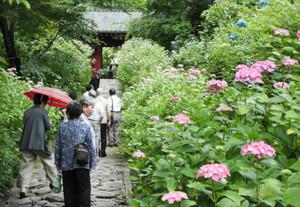 本光寺の参道で見ごろを迎えたアジサイ=幸田町深溝で