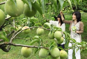 青々とした大粒の梅の実を摘み取る行楽客ら=大津市大石龍門で