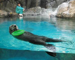 修復されたプールで、おもちゃをおなかにのせてご機嫌なヤヨイ=豊橋総合動植物公園で