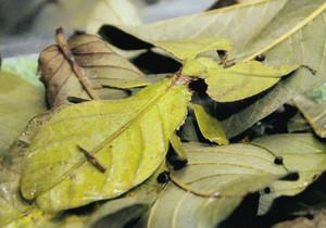 県内初展示となる葉っぱそっくりのオオコノハムシ(中央)=県ふれあい昆虫館で