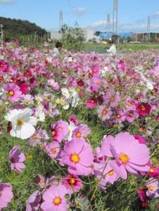 休耕田いっぱいに咲く3色のコスモス=各務原市山脇町で