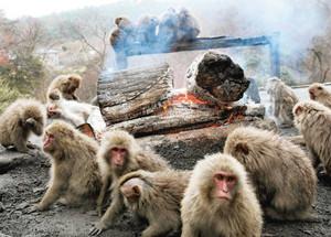 たき火の周りで暖をとるヤクニホンザル=20日、愛知県犬山市の日本モンキーセンターで(内山田正夫撮影)