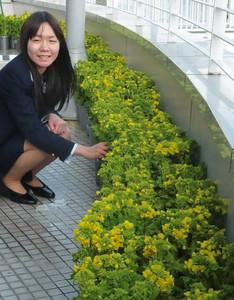 バルコニーに展示された菜の花=三重県鳥羽市の伊勢湾フェリー鳥羽ターミナルで