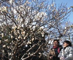 咲き始めた庭園内の梅を楽しむ来場者=菊川市の黒田家代官屋敷庭園で