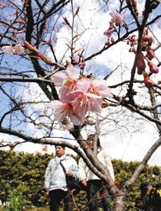 小さな花をつけ始めたヒナザクラ=浜松市西区舘山寺町のはままつフラワーパークで