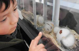 2月中旬に産まれ、卵のふ化が待たれるクロサンショウウオの卵のう(手前)=各務原市川島笠田町のアクア・トトぎふで