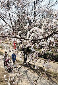 春の陽気の中、次第にほころび始めた桜=常願寺川公園で