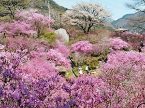 見頃を迎え、公園一帯を紅紫色に染めるミツバツツジ=南木曽町で