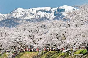 満開の桜の上を大きく羽ばたくように現れた「鶴峰の残雪」=勝山市の弁天河原で