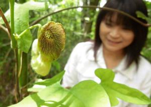 独特の形をした花と葉が人気を集めるオオバウマノスズクサ=尾張旭市の県森林公園で