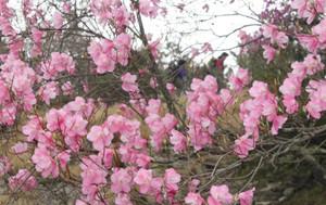 登山道の近くで咲くアカヤシオ=菰野町の鎌ケ岳で