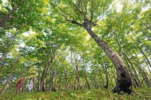 緑のシャワーが降り注ぐブナ林=大野市の平家平で