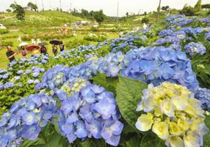 梅雨の晴れ間に咲き誇るアジサイ=津市戸木町で