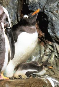 親鳥のおなかの下ですくすくと成長するジェンツーペンギンの赤ちゃん=豊橋市の豊橋総合動植物公園で