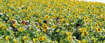 夏の日差しを浴びて、丘を鮮やかに彩るヒマワリ=5日、愛知県南知多町の花ひろばで(中森麻未撮影)