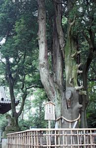 県指定天然記念物にもなっている「紀倍神社のオニヒバ」=坂井市春江町木部西方寺の同神社で