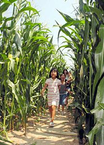 トウモロコシ畑の巨大迷路に挑戦する親子連れ=内灘町湖西で