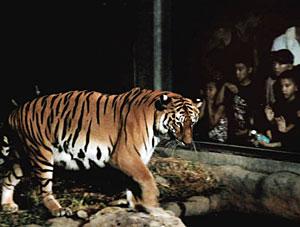 動き回るトラを眺める子どもたち=いしかわ動物園で