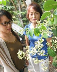 白く小さな花を枝先に咲かせるシマサルスベリ=浜松市南区大塚町の市緑化推進センターで