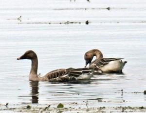 長旅を終えて羽を休めるオオヒシクイ=長浜市湖北町の琵琶湖で(湖北野鳥センター提供)