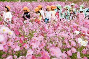 満開になったコスモス畑を散策して楽しむ園児たち=養老町で