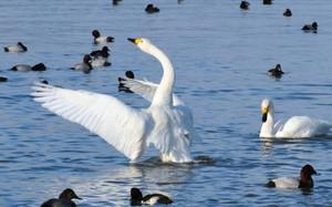 湖岸に飛来し、羽を休めるコハクチョウ=草津市志那町で