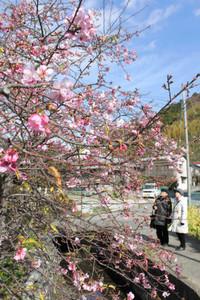ピンク色に咲き誇る河津桜を楽しむ観光客ら=河津町で