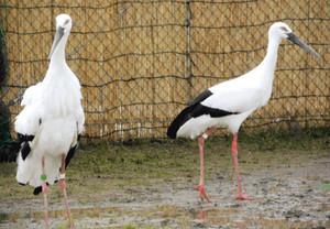 雄の「ふっくん」(左)と雌の「さっちゃん」=越前市中野町で