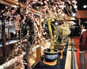 ライトアップされ幻想的に浮かび上がる盆梅=長浜市港町の慶雲館で
