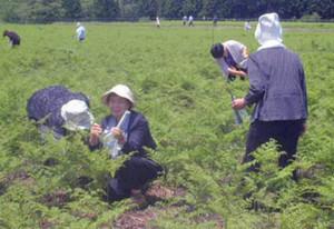 前回大会の岩手県西和賀町で行われたワラビの収穫体験